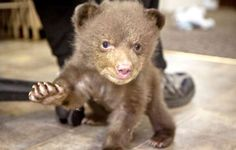 Tiny bear cub! And it looks like he's already learning how to do a #SicEm!