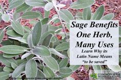 """Sage Benefits - One Herb, Many Uses - Salvia derives from """"to be saved"""", and with all the wonderful benefits and uses of sage, you're sure to want it in your garden, kitchen and medicine cabinet."""