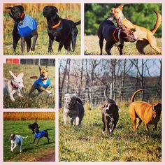Camp is always more fun with a couple of friends! #evasplaypupsPA #dogs #dogscamp #doggievacays #dogsinnature #runfree #bffs #puppals #labsofinstagram #shepardsofinstagram #bassetsofinstagram #poodlesofinstagram #pitbullsofinstagram #dogsofinstagram #badassbk #adoptdontshop #rescuedog #autumn #sweaterweather #endlessmountains #mountpleasant #PA #pennsylvania