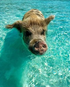 Pig Beach - Big Major Cay, Staniel Cay: See 103 reviews, articles, and 190 photos of Pig Beach - Big Major Cay, ranked No.2 on TripAdvisor among 4 attractions in Staniel Cay.