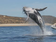 Up Close Whale Watching By Zodiac in Cabo San Lucas, Mexico