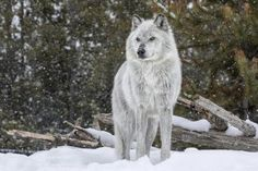 Between 1995 and 41 wolves were reintroduced to Yellowstone park. Their return transformed the landscape and spurred a global 'rewilding' effort.SAVE THE WOLVES. Yellowstone Wolves, Yellowstone Park, Wolf Hybrid Dogs, Wolf With Blue Eyes, Wolf Photography, Wildlife Photography, Yelawolf, Beautiful Wolves, Big Bad Wolf