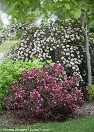 weigela - Google Search