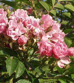 http://suomalainentaimi.fi/wp/wp-content/uploads/2011/03/neilikkaruusu-Pink-Grootendorst.jpg