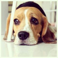 ห้าทุ่มแล้วนะแม่เลปรออยู่#beagle #dog #dogofthedayjp #thaistagram - I4PC
