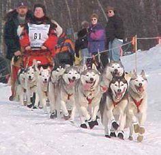Create a dog sled team with Siberian Huskies in my neighborhood