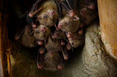 hanging flying foxes Foxes, Animals, Animales, Animaux, Animal, Fox, Animais