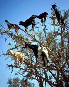 E você achava que já conhecia um pé de cabra....kkkkkkkkkTree Climbing Goats
