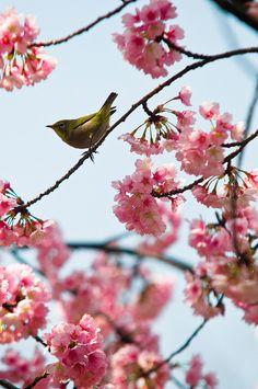 Bird and sakura (Tokyo, Japan)