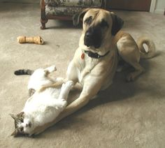 Anatolian with cat at play Anatolian Shepherd Puppies, Shepherd Dog, Little Critter, Amazing Dogs, Puppies For Sale, Dog Cat, Best Friends, Horses, Pure Products