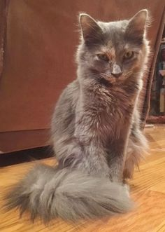 Zena is an adoptable maine coon searching for a forever family near Blairstown, NJ. Use Petfinder to find adoptable pets in your area.