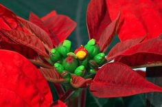 poinsettas  year after year