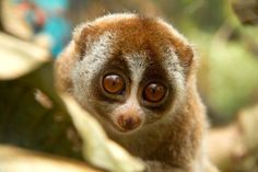 For the love of animals. Do not support Lorises as pets. This article explains how these gentle creatures are exploited and tortured. Pass it on.