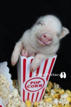 Little Piggies - petite porkers