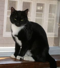 Sushi  Cat • Tuxedo & Domestic Short Hair (Black & White) • Adult • Female • Medium  Best Friend Dog and Animal Adoption, Inc. Cranford, NJ