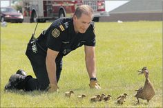 Firefighter Dwight Weinberger shepherds a mallard and her brood, keeping them from straying too close to a busy Calgary boulevard. Image: Ted Rhodes, Calgary Herald #urbanwildlife