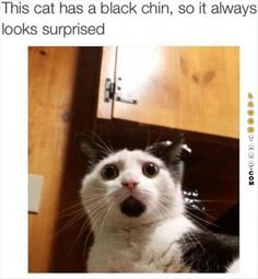 This cat has a black chin #lol #haha #funny #funnypics #laughtard #funnycats #cats