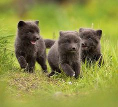 Arctic Fox Cubs by Giedrius Stakauskas Animals And Pets, Baby Animals, Cute Animals, Beautiful Creatures, Animals Beautiful, Of Wolf And Man, Fox Pups, Hachiko, Coyote Hunting