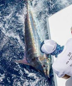 Last call for the WORLD CUP BLUE MARLIN CHAMPIONSHIP - July 4th - Andromeda releasing another one in Cape Verde ! Photo: Capt. Olaf Grimkowski #BlueMarlinWorldCup #CapeVerde #FishTrack #Buoyweather #BlueMarlin