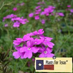 Verbena tenuisecta ' Fuchsia Moss Verbena - This plant does great in full sun and dry areas, great for rock gardens. Moss Verbena grows fast and will make a quick groundcover for any bare spots in the yard.