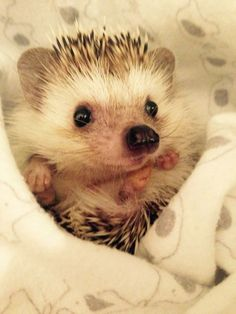 Topic: I find myself searching for pics of baby hedgies for hours so HOW ABOUT THIS. Post your cutest BABY hedgehog picture below hehe. Baby Animals Pictures, Cute Animal Pictures, Animals And Pets, Funny Animals, Dou Dou, Baby Hedgehog, Cute Little Animals, Animal Memes, Animals Beautiful