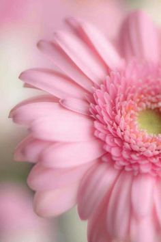 54 Ideas For Wallpaper Flores Nature Pink Roses Pink Wallpaper, Nature Wallpaper, Iphone Wallpaper, Wallpaper Wallpapers, Pink Flowers, Beautiful Flowers, Pink Gerbera, Gerbera Flower, Pink Petals