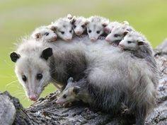 Opossum: jack - jill - joey