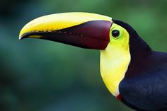 Photo Black-mandibled Toucan - Costa Rica by Jim Cumming on 500px