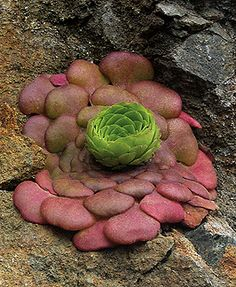 Aeonium glandulosum - love this interesting shape and color, might work nicely between bluestone pavers if it's hardy ...