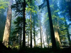 Coast redwood (Sequoia sempervirens) forest in northern California. Forest Of Dean, Tree Forest, Magical Forest, Misty Forest, Forest Mural, Foggy Forest, Forest View, Nana Mouskouri, Nature Landscape