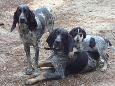 Bluetick 1 kennels, quality bluetick hounds for over 30 years. Long eared, bawl mouthed, old style hounds. Use on cats or coons. Blue Tick Hound Puppy, Blue Tick Beagle, Hound Puppies, Hound Dog, Dogs And Puppies, English Coonhound, Bluetick Coonhound, Pet Dogs, Dog Cat