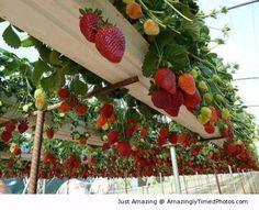 Strawberry Farm. Gutter berries? http://amazinglytimedphotos.com/strawberry-farm/#.U86ov5LKaSo