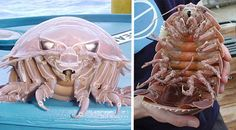 If you're afraid of bugs, you're really not going to like the Giant Isopod. It resembles nothing so much as a cockroach the size of a guinea pig, but it's actually a crustacean related to shrimp and crabs.[ link]
