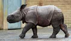 """It was questionable whether a baby greater one horned (also called Indian rhinos) rhino would survive after experiencing a traumatic birth at  London's Whipsnade Zoo . The little calf would not nurse from her mother Beluki...Zoo staff managed to bottle feed the youngster, and after a few days, she started suckling from her mother. The baby was named Karamat, Nepalese for """"miracle."""""""