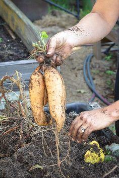 urban garden how to grow sweet potatoes in your backyard. Farm Gardens, Outdoor Gardens, Organic Gardening, Gardening Tips, Vegetable Gardening, Gardening Books, Urban Gardening, Growing Sweet Potatoes, Grow Potatoes