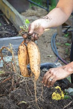How to Grow Sweet Potatoes in Your Backyard....