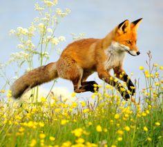 theperfectworldwelcome: beautiful-wildlife: Flying Fox by Hannu Koskela Beautiful !!! O/