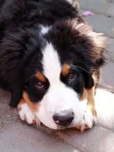 Aww! Love Bernese Mountain dogs.
