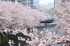 Cherry Blossom Reports 2016 - Tokyo: Full Bloom