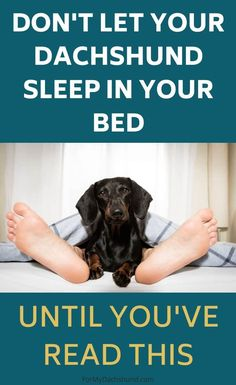 Should you let your Dachshund sleep in your bed? There are many advantages and disadvantages to consider. Read this first if you are trying to decide. Dachshund Breed, Dachshund Quotes, Dapple Dachshund, Long Haired Dachshund, Funny Dachshund, Mini Dachshund, Daschund, Weenie Dogs, Chihuahua Dogs