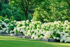 Traditional Landscape Design, Pictures, Remodel, Decor and Ideas ouahhh beautiful hydrangeas blanches **+ Hydrangea Landscaping, Country Landscaping, Backyard Landscaping, Landscaping Ideas, Luxury Landscaping, Patio Ideas, Landscaping Edging, Natural Landscaping, Landscaping Company