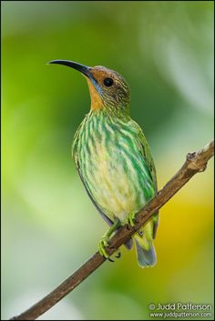 Purple Honeycreeper (female) |