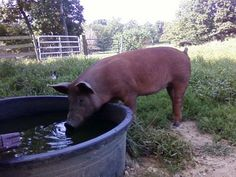 The Thrifty Homesteader: Livestock and hot weather Keeping Chickens, Raising Chickens, Farm Animals, Animals And Pets, Cute Baby Pigs, Chickens In The Winter, Earthy Home, Hobby Photography, Down On The Farm
