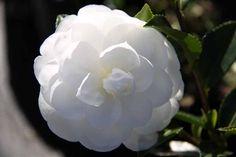Camellia_Silver_Dollar Silver Dollar, Camellia, Shrubs, Nursery, Rose, Flowers, Plants, Pink, Baby Room