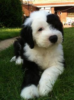 Old English Sheepdog puppy. so fluffy Cute Puppies, Dogs And Puppies, Cute Dogs, Doggies, Sheep Dog Puppy, Dog Cat, Sheep Dogs, Baby Animals, Funny Animals