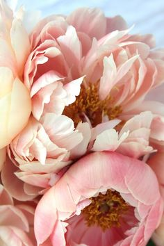 Peonies in full bloom. Such romantic flowers!