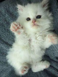 "My new ""grand daughter"" Cecilia Rose aka Cece - Katzenrassen Beautiful Cats Kittens And Puppies, Baby Kittens, Cute Cats And Kittens, Kittens Cutest, White Kittens, Ragdoll Kittens, Tabby Cats, Funny Kittens, Bengal Cats"