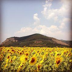 Il Monte Castellare, sacro agli Etruschi, domina i campi di girasole