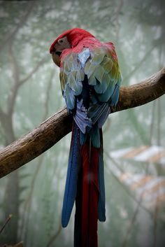 Parrot, in the central park zoo