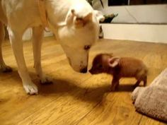 We don't know if this is the smallest pig in the world but it sure is the cutest little pig around.